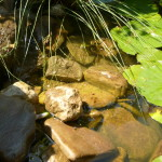 Unsere Teichkröte