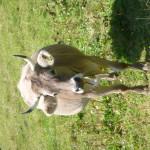 Schöne Kuh mit Hörner